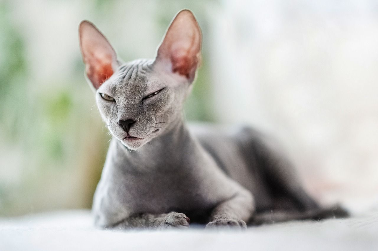 Sphynx Cat Photograph by Photostock-israel/science Photo