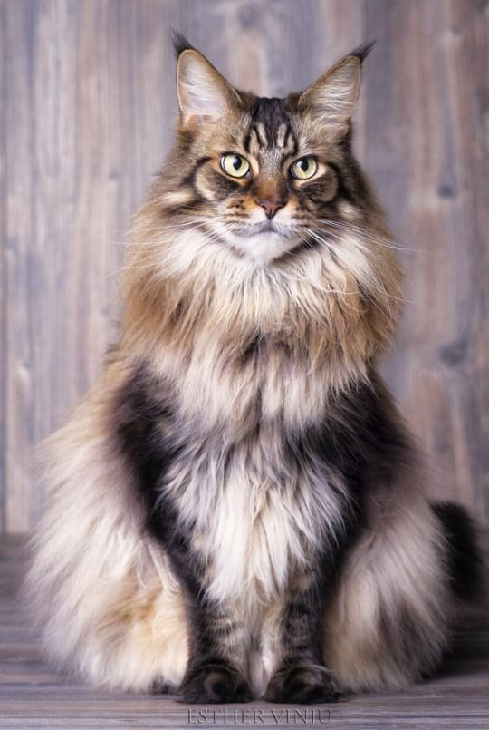 Maine Coon Cat Lifespan 1