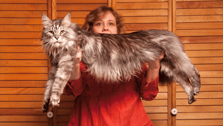 10 Largest and Biggest Maine Coon Cats 1