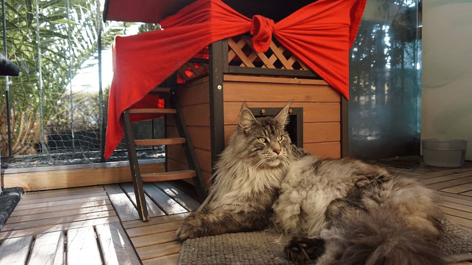 10 Largest and Biggest Maine Coon Cats 11