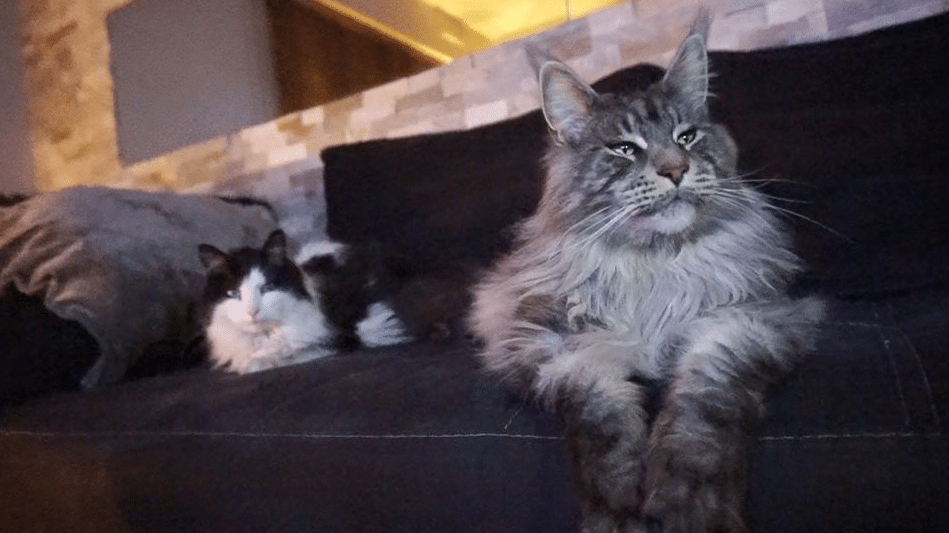 10 Largest and Biggest Maine Coon Cats 12