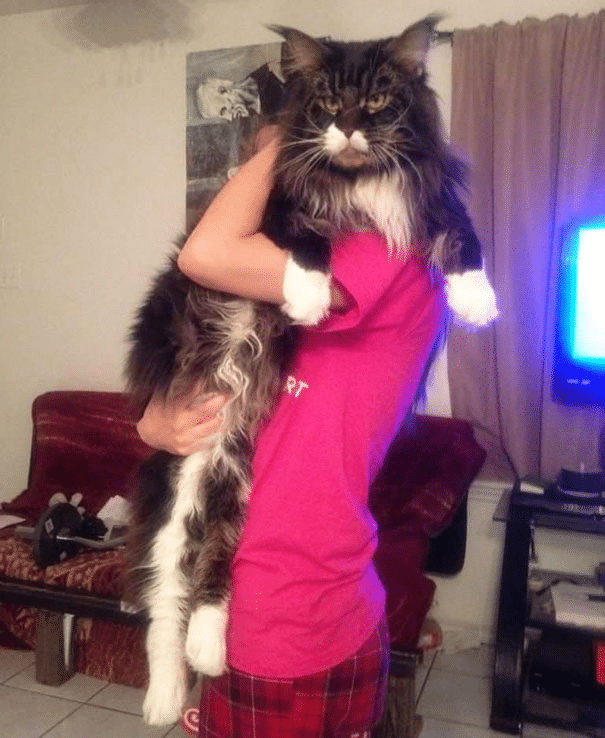 10 Largest and Biggest Maine Coon Cats 13