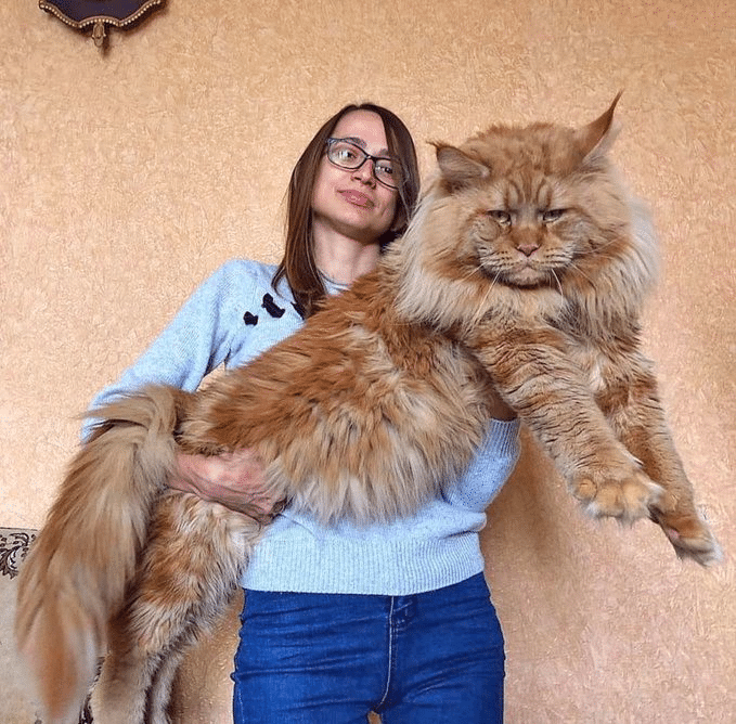10 Largest and Biggest Maine Coon Cats 14