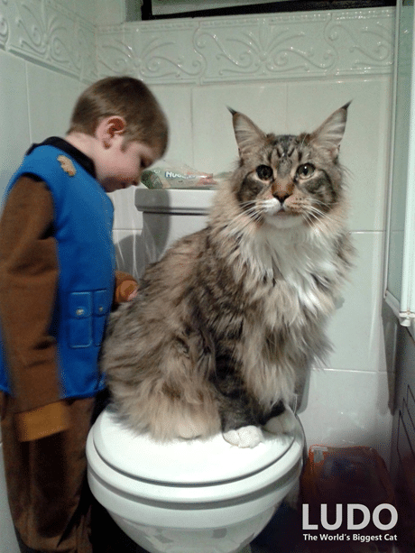 10 Largest and Biggest Maine Coon Cats 4