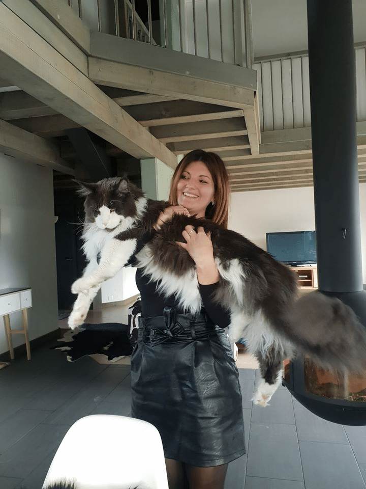 10 Largest and Biggest Maine Coon Cats 9