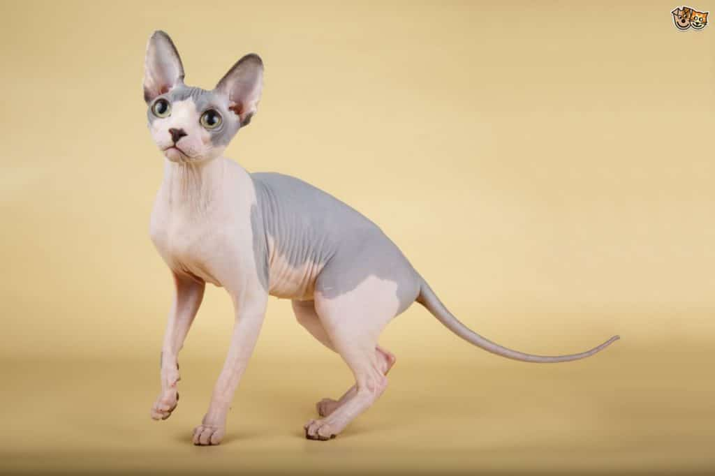 Owning a Sphynx Cat: Full of mischief, Sphynx is a born entertainer 3