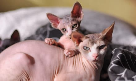 What is the Average Sphynx Cat Lifespan?