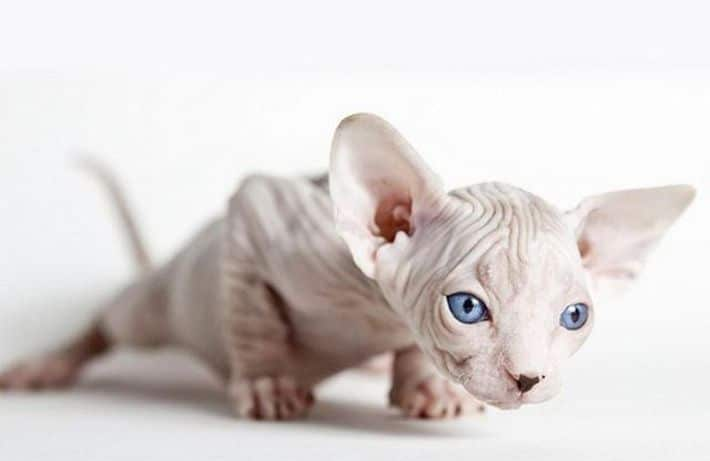 owning a sphynx cat