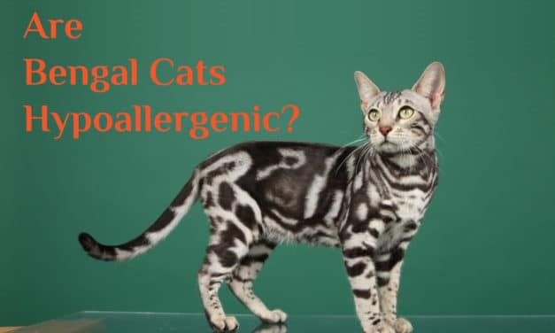 Cat Allergies – Are Bengal Cats Hypoallergenic?
