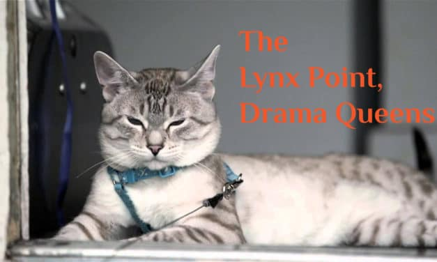 Lynx Point Siamese Cat: Drama Queens of Cats!