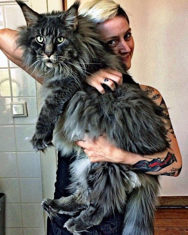 The Maine Coon Size: How Big Can a Maine Coon Get? 3