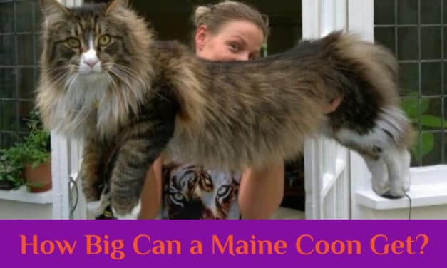 The Maine Coon Size: How Big Can a Maine Coon Get?