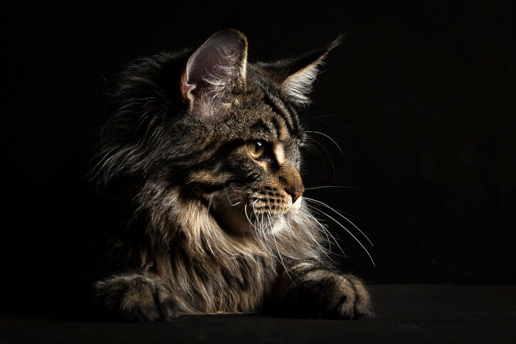 +40 iPhone Maine Coon Wallpapers 11
