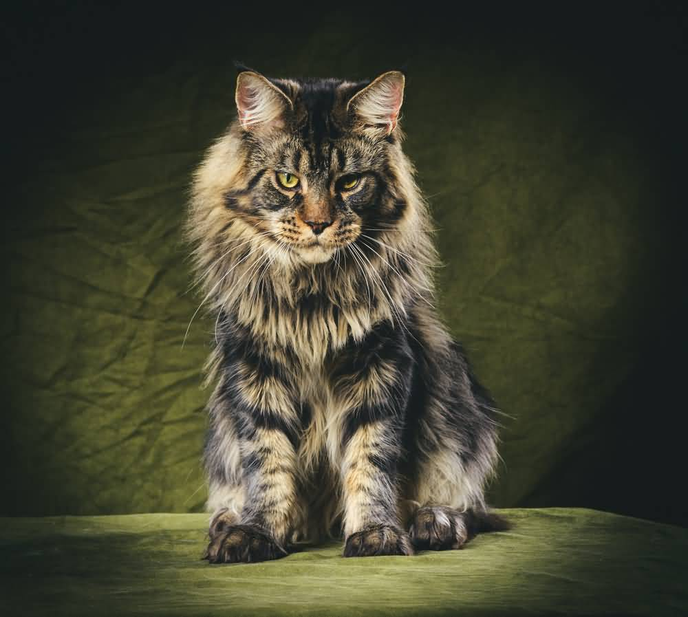 +40 iPhone Maine Coon Wallpapers 12