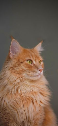 +40 iPhone Maine Coon Wallpapers 13