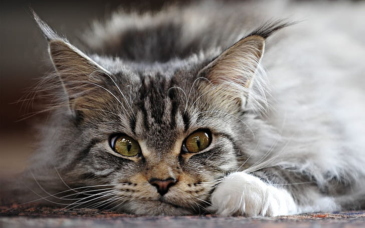 +40 iPhone Maine Coon Wallpapers 14