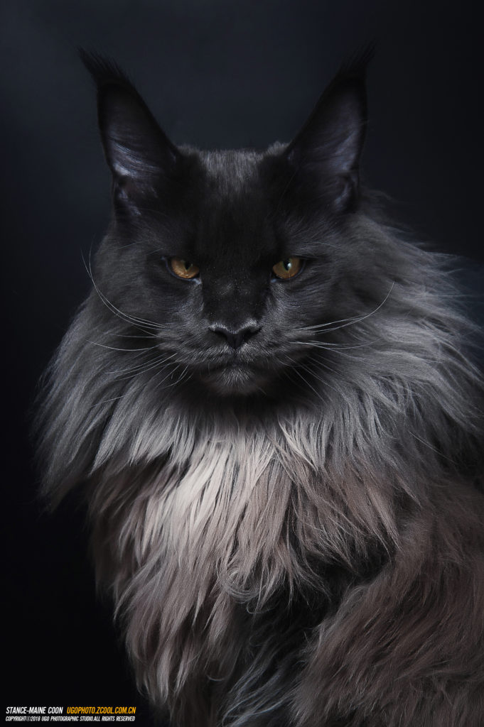 +40 iPhone Maine Coon Wallpapers 15