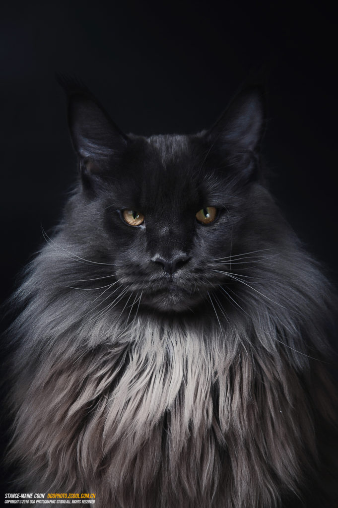 +40 iPhone Maine Coon Wallpapers 16