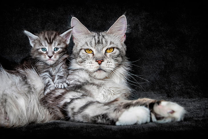 +40 iPhone Maine Coon Wallpapers 17