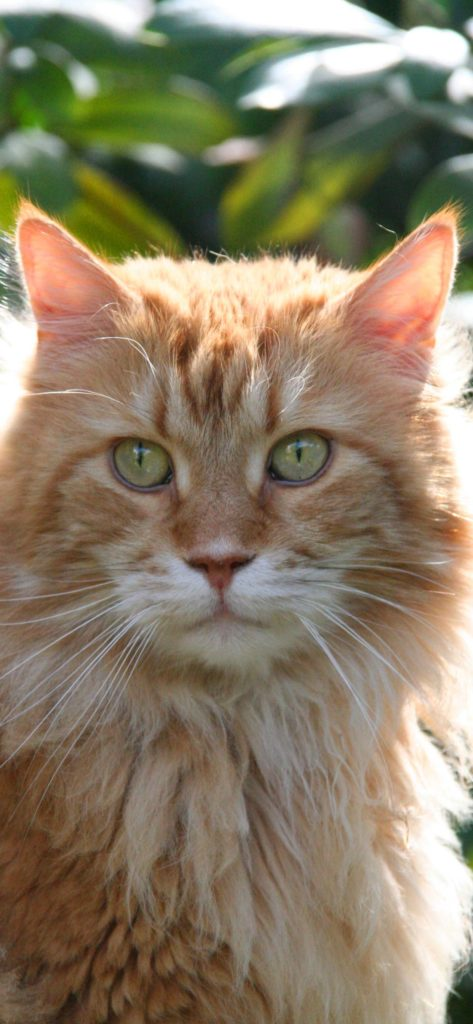 +40 iPhone Maine Coon Wallpapers 18