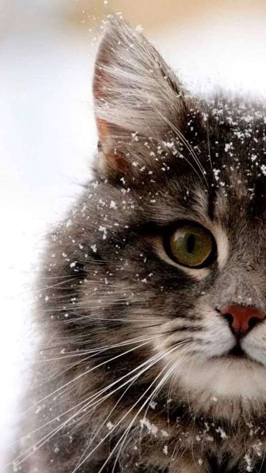 +40 iPhone Maine Coon Wallpapers 19