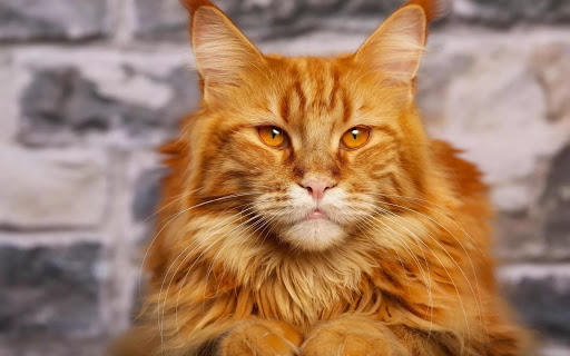 +40 iPhone Maine Coon Wallpapers 20
