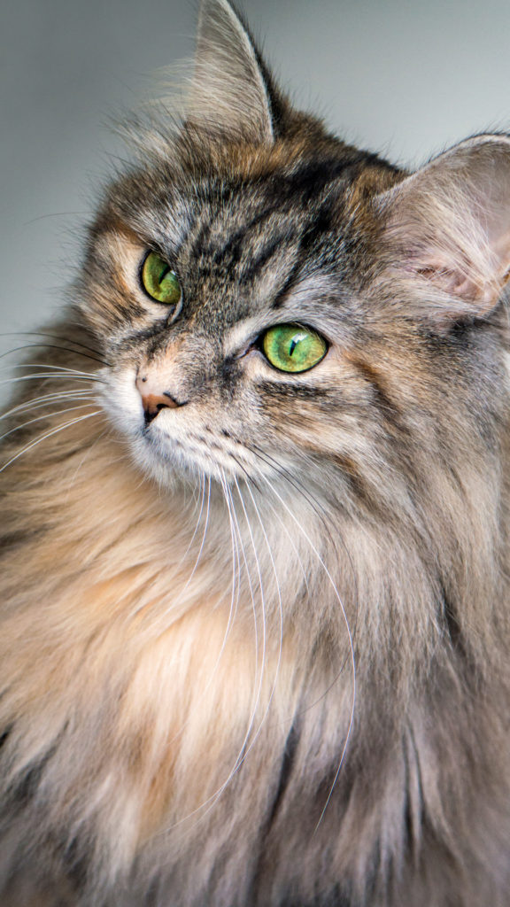 +40 iPhone Maine Coon Wallpapers 3