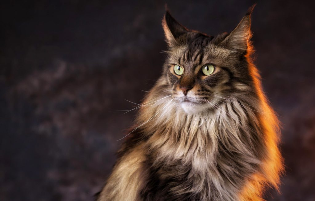 +40 iPhone Maine Coon Wallpapers 22
