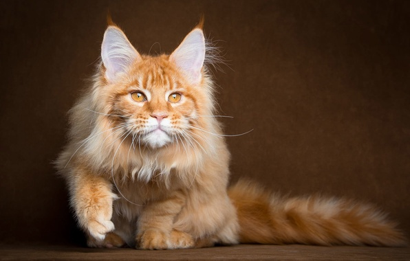 +40 iPhone Maine Coon Wallpapers 23