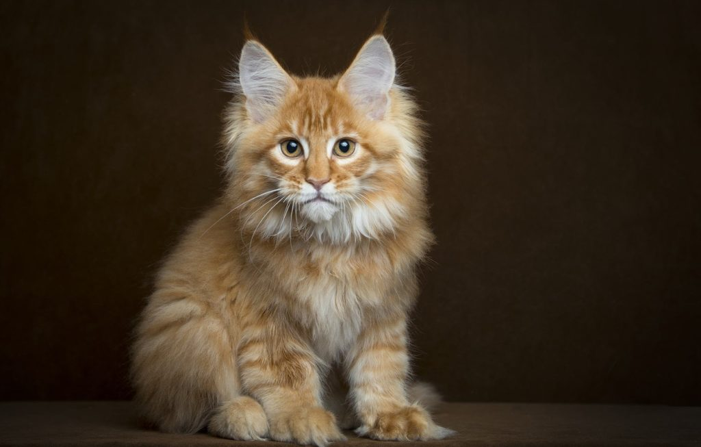 +40 iPhone Maine Coon Wallpapers 24