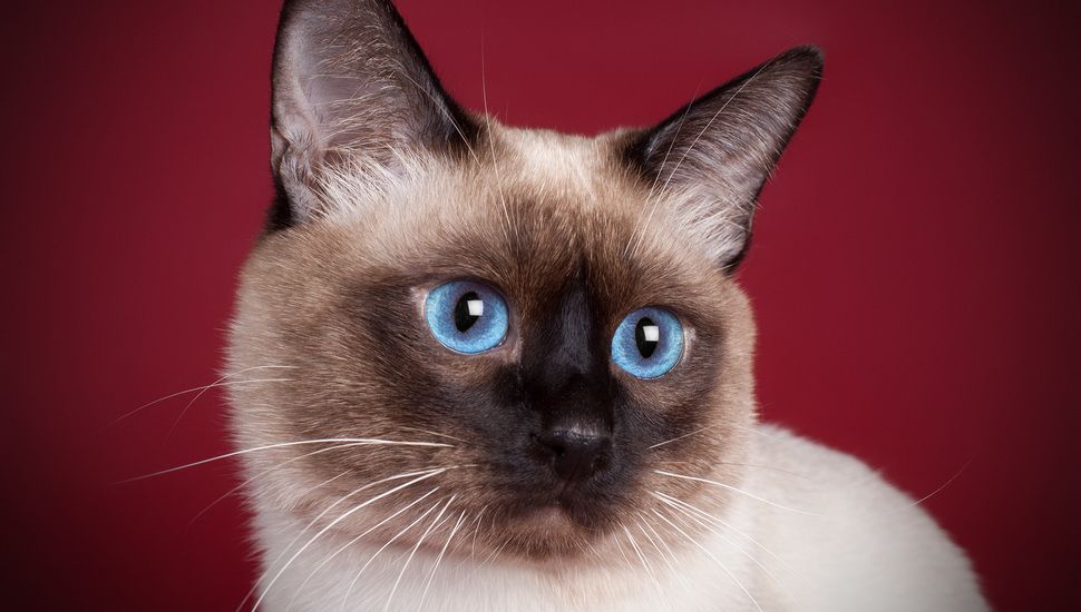 +45 Adorable Siamese Cat Wallpapers 1