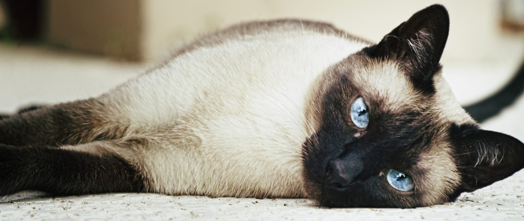 +45 Adorable Siamese Cat Wallpapers 2