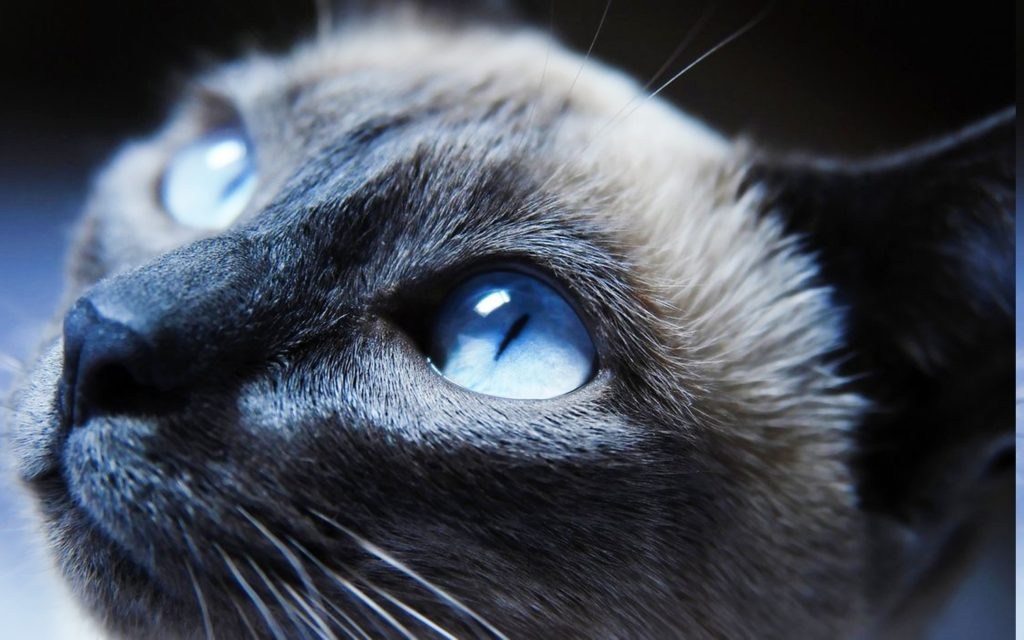 +45 Adorable Siamese Cat Wallpapers 3