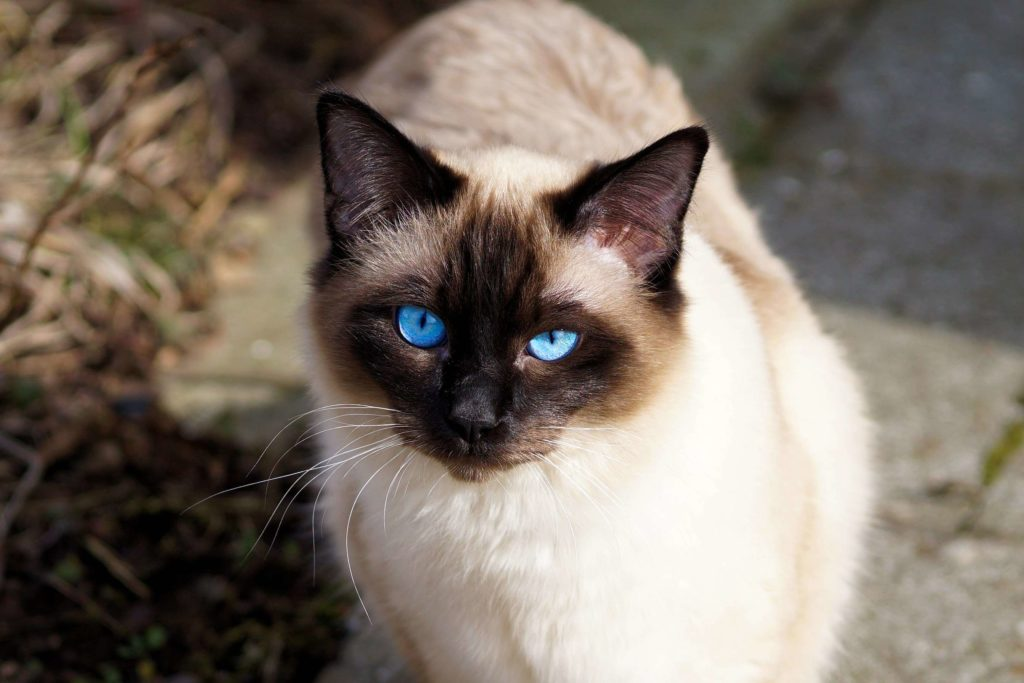 +45 Adorable Siamese Cat Wallpapers 4
