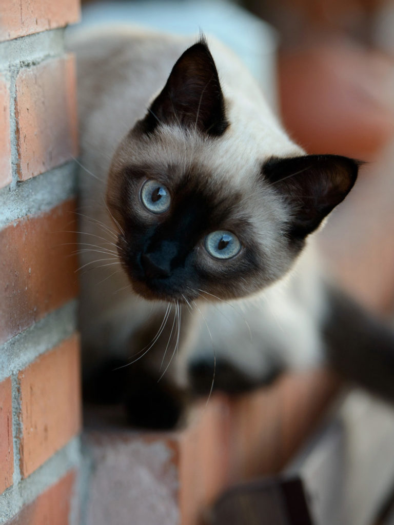 +45 Adorable Siamese Cat Wallpapers 5