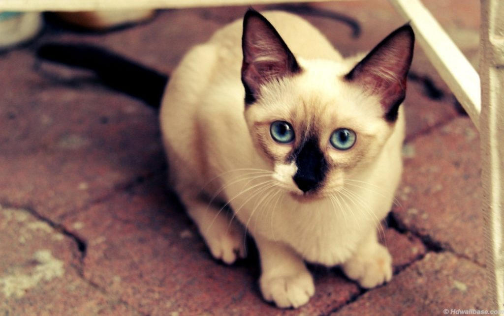 +45 Adorable Siamese Cat Wallpapers 6