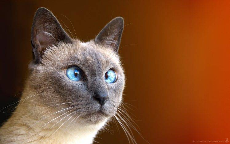 +45 Adorable Siamese Cat Wallpapers 7
