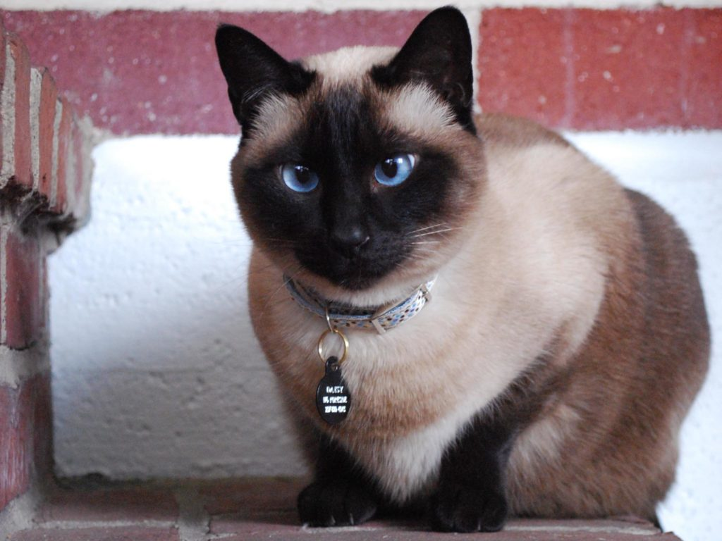 +45 Adorable Siamese Cat Wallpapers 8