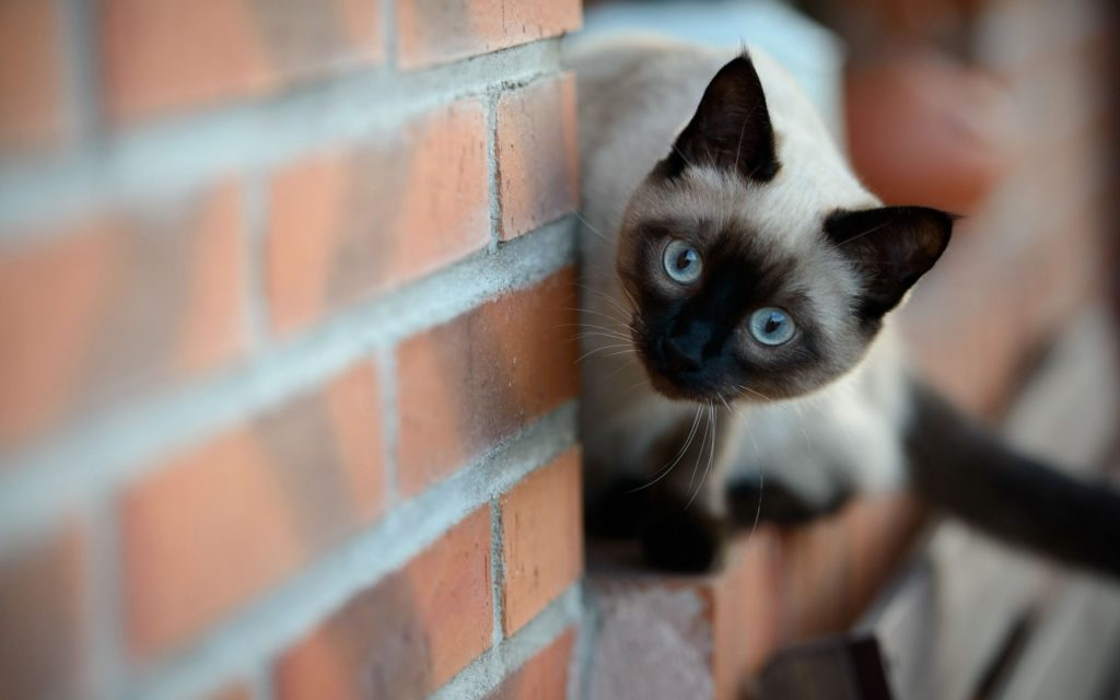 +45 Adorable Siamese Cat Wallpapers 9