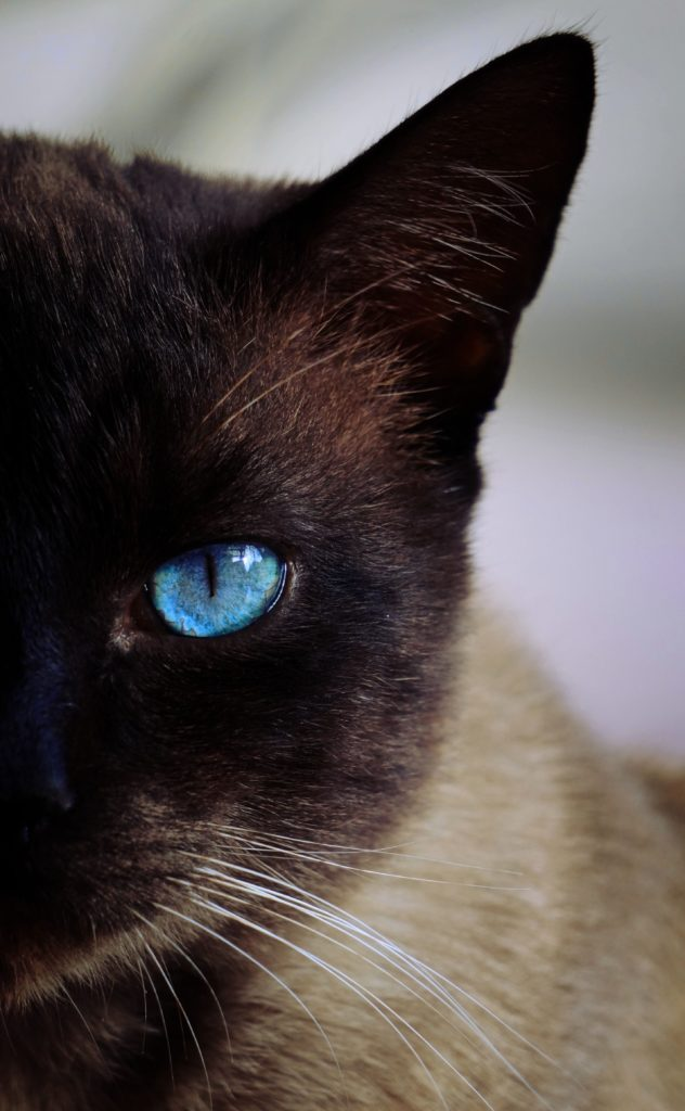 +45 Adorable Siamese Cat Wallpapers 10