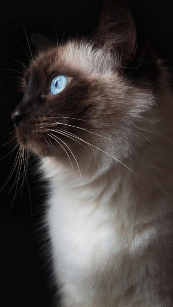 +45 Adorable Siamese Cat Wallpapers 11