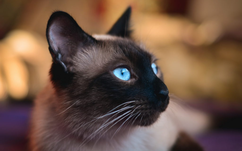 +45 Adorable Siamese Cat Wallpapers 12