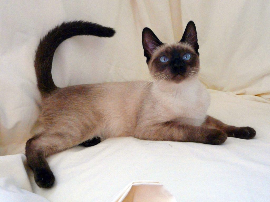 +45 Adorable Siamese Cat Wallpapers 13