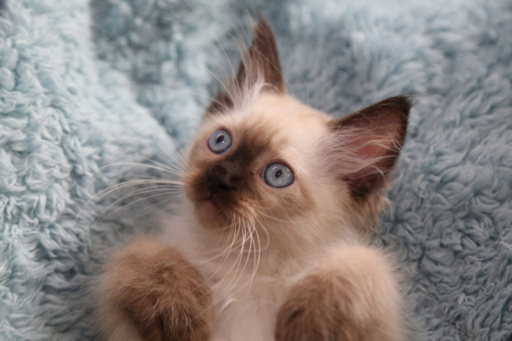 +45 Adorable Siamese Cat Wallpapers 14