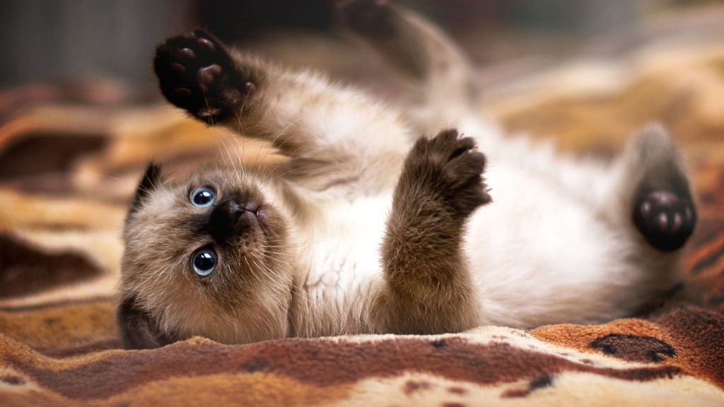 +45 Adorable Siamese Cat Wallpapers 15