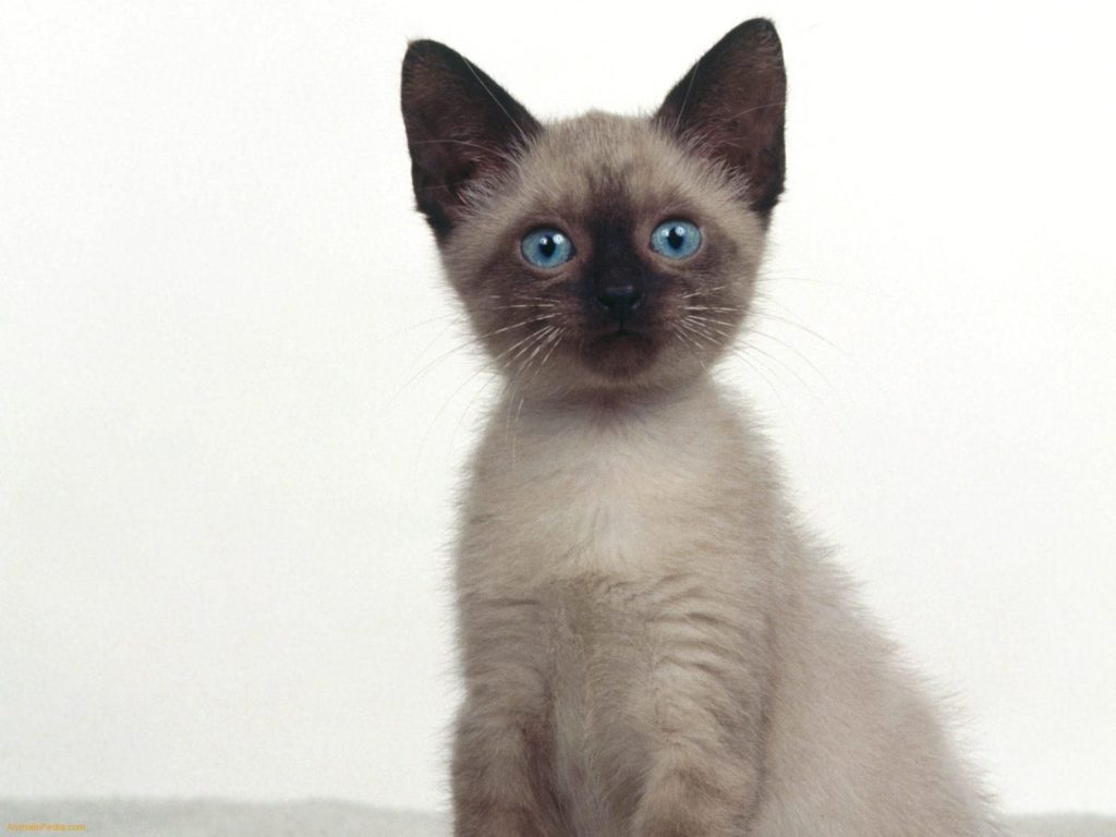 +45 Adorable Siamese Cat Wallpapers 16