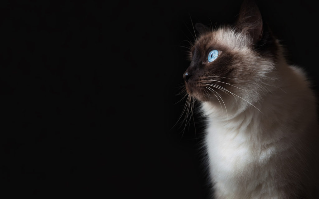 +45 Adorable Siamese Cat Wallpapers 17