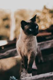 +45 Adorable Siamese Cat Wallpapers 19