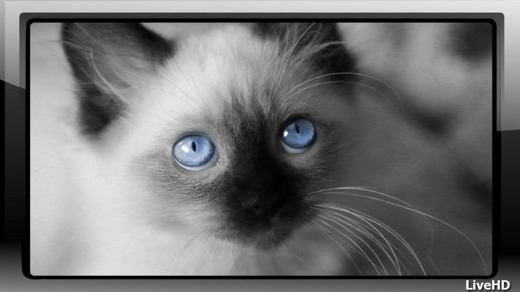 +45 Adorable Siamese Cat Wallpapers 20