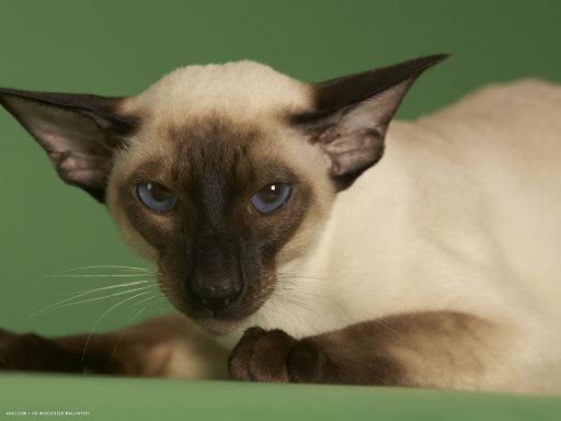 +45 Adorable Siamese Cat Wallpapers 21